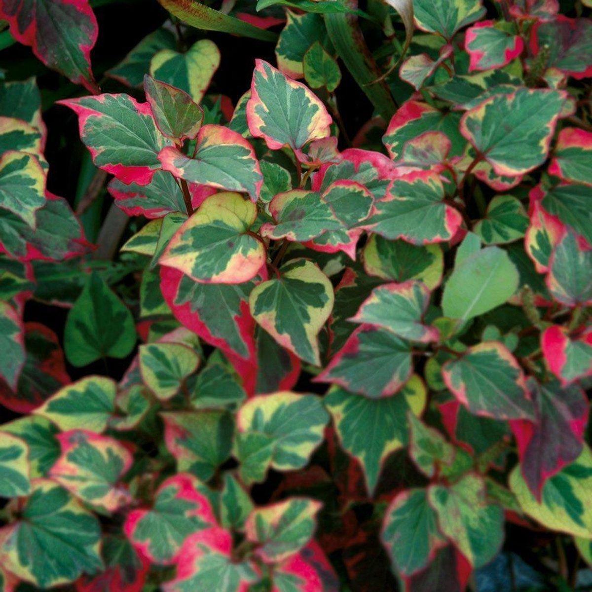 Moerasanemoon Houttuynia Cordata Chameleon - 4 stuks + Aqua Set - Winterharde Vijverplanten - Van der Velde Waterplanten - VanderVeldeWaterplanten.nl