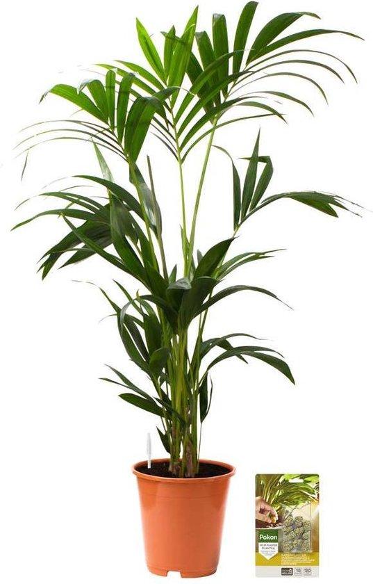 Pokon® Kentia Palm incl. watermeter en voeding - hoogte ↕90 cm