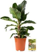 Pokon® Bananenplant incl. watermeter en voeding - hoogte ↕80cm