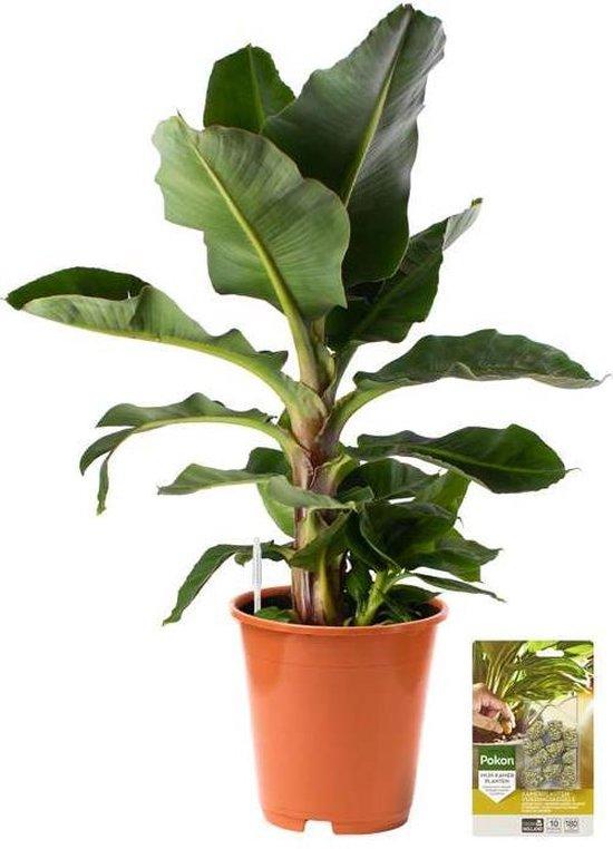 Pokon® Bananenplant incl. watermeter en voeding - hoogte 80cm