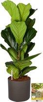 Pokon® Vioolbladplant / Ficus Lyrata incl. watermeter en voeding - in Mica Era Pot Donker Grijs - hoogte ↕100 cm