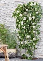 2x Passiflora 'Snow Queen' - Passiebloem wit - Set van 2 - ↑ 65-75cm - Ø 14cm