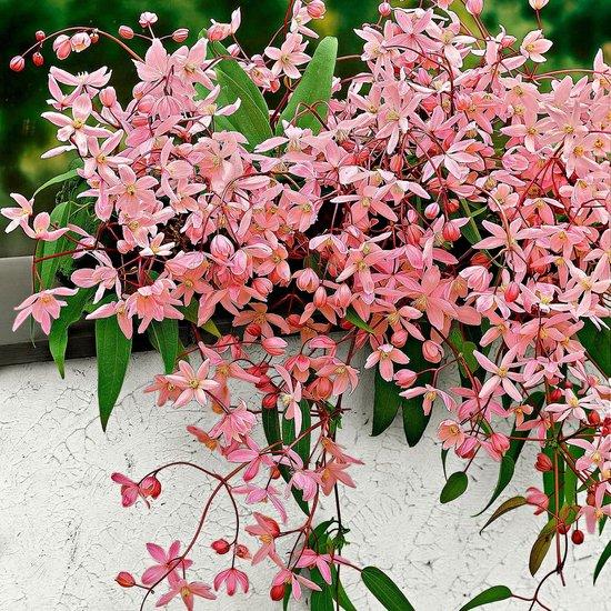 Clematis 'Apple Blossom' - Clematis klimplant roze - ↑ 55-65cm - Ø 15cm
