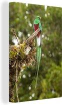 Quetzal rust op een bemoste tak in Costa Rica Canvas 120x180 cm - Foto print op Canvas schilderij (Wanddecoratie woonkamer / slaapkamer) XXL / Groot formaat!