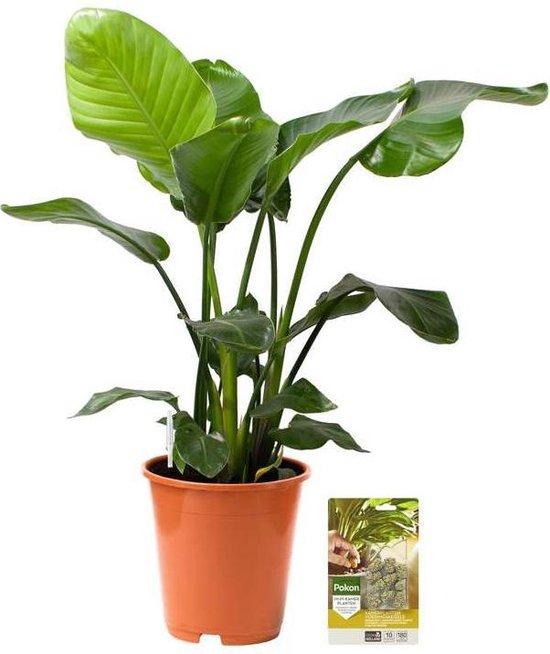 Pokon® Strelitzia Nicolai / Paradijsvogelbloem incl. watermeter en voeding - hoogte ↕110 cm